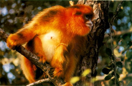 峨眉山猴子